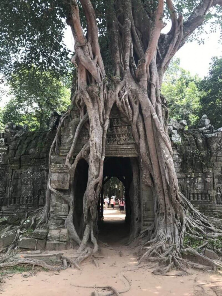 'The' Fig Tree at Ta Som