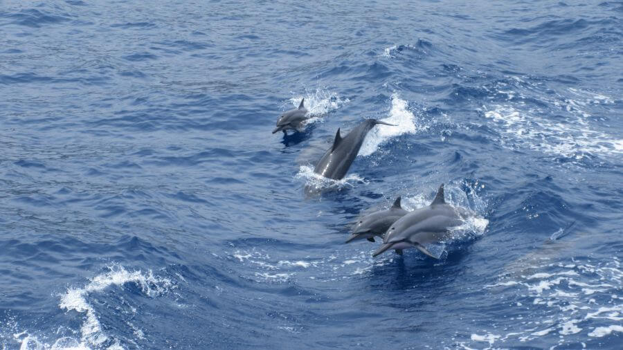 Hill Tribe Travels had a great experience with Fair Wind cruises in Kona, The Big Island, Hawaii, here are dolphins jumping out of the water. We saw them on the boat trip and also in the bay.