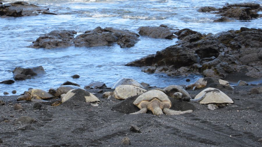 Zooming in to the turtles on the black sand - Hill Tribe Travels loved seeing turtles in Hawaii. Green sea turtles on the black sand