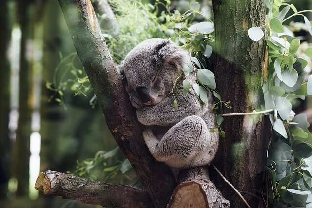 Hill Tribe Travels and fun things to do in Phillip Island. Plenty of fun activities for kids and families. This is a koala sleeping