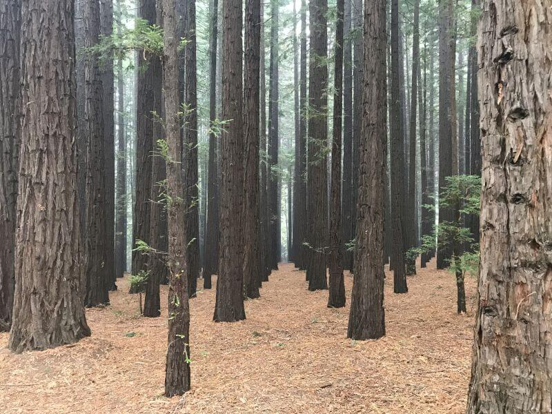 The gorgeous Redwood trees. Planted in rows. This is at the Redwoods Forest not far from Warburton