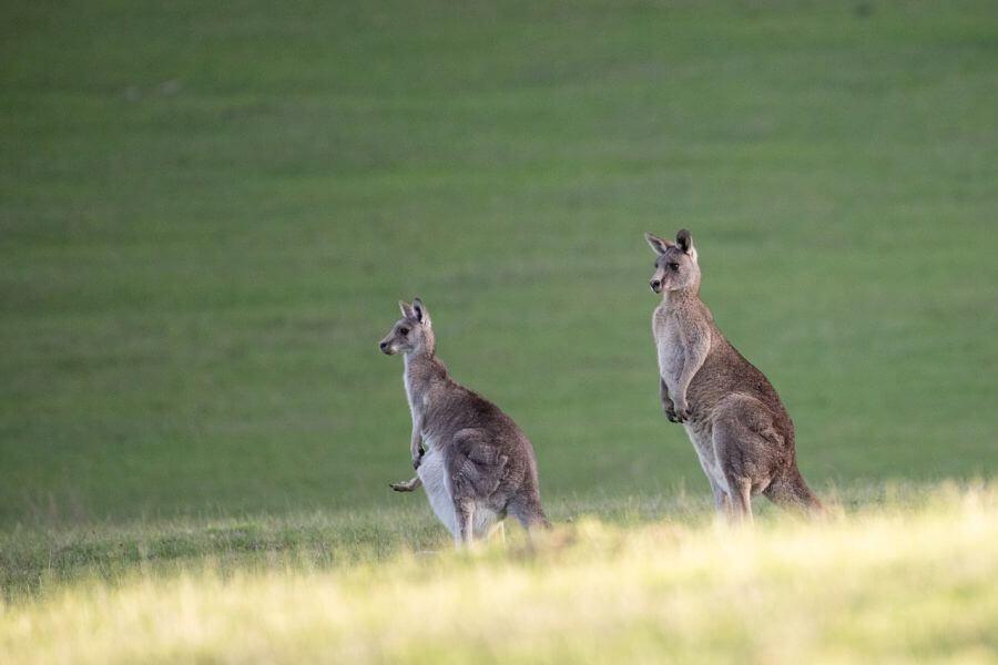 Kangaroo's!!