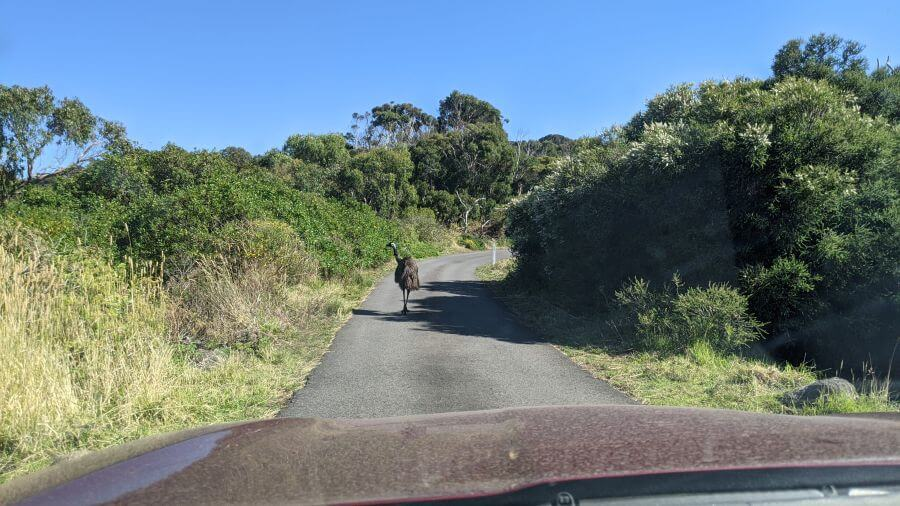 Emu at Tower Hill Wildlife Reserve Making his way along the road. Hill Tribe Travels visited as a good things to do with kids in Port fairy