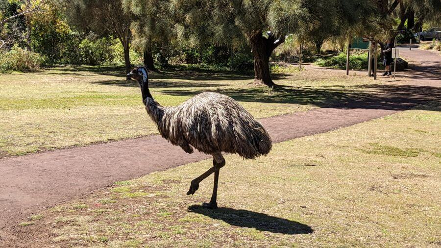 Emu at Tower Hill Wildlife Reserve HIll Tribe Travels visited as a good thing to do with kids in Port Fairy